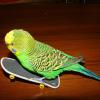 Как развеселить попугайчика