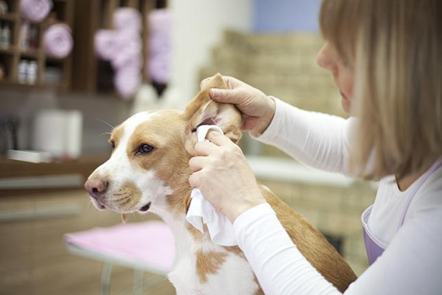 очистка ушей у собаки