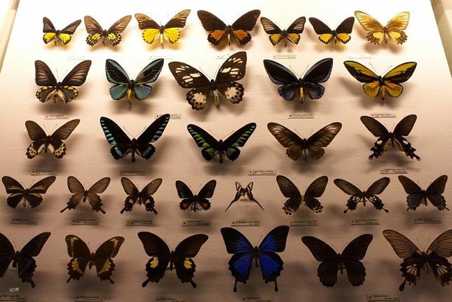 Коллекционирование бабочек